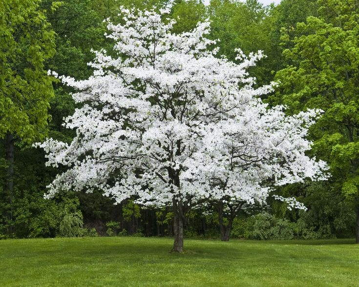 Dogwood tree- likes moderate shade, likes good drainage and protection from drought
