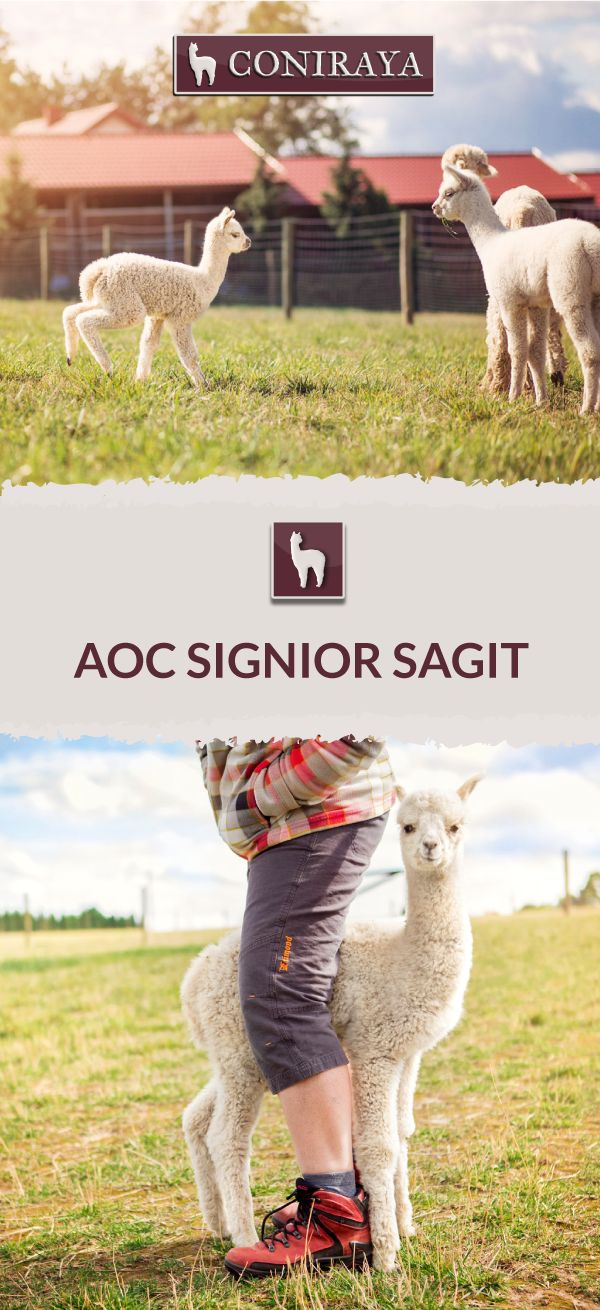 Meet Coniraya - AoC Signior Sagit. Check out more details on our site!