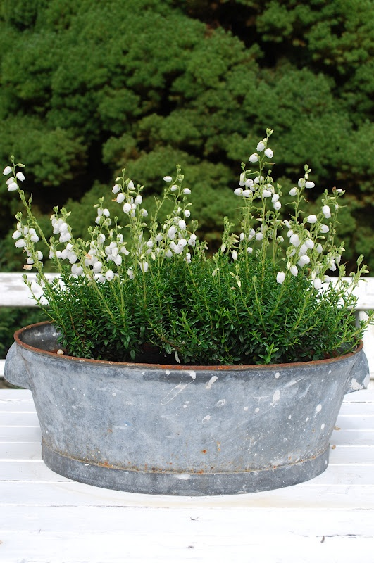 Lily of the Valley. I love the way lily of the valley makes your yard smell !