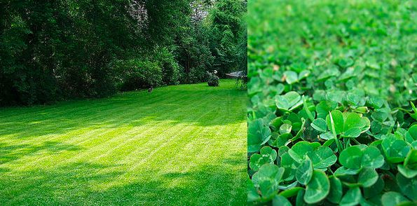 dutch white clover lawn alternative the image kid has it. Black Bedroom Furniture Sets. Home Design Ideas