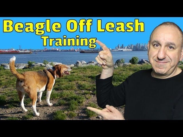 How To Train A Beagle To Walk Off Leash Dog Training Online Dog