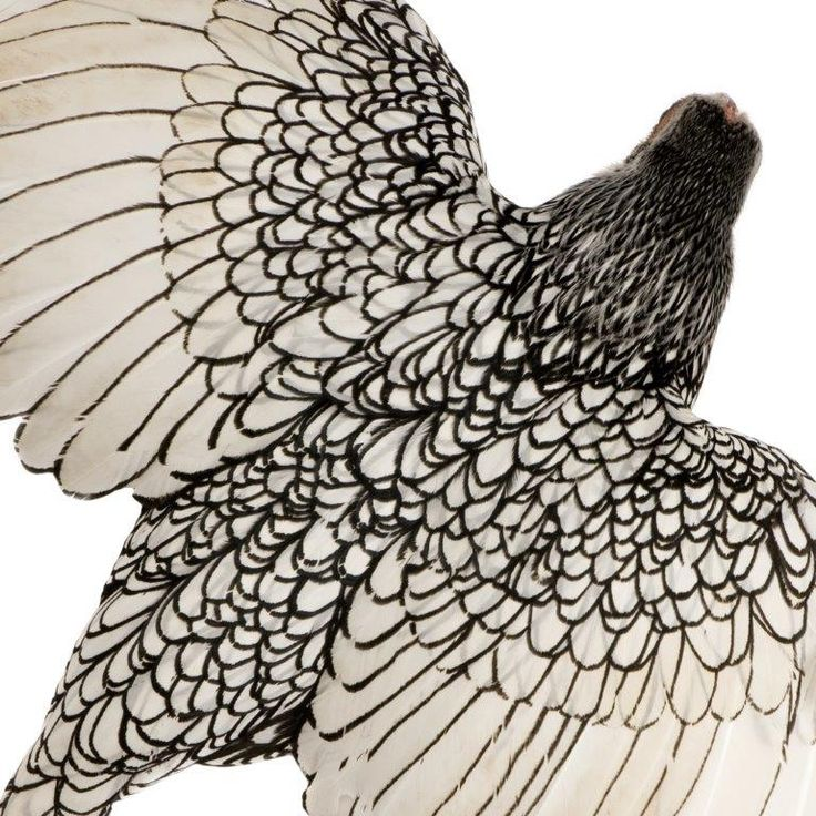 Image result for white chickens with black lined feathers