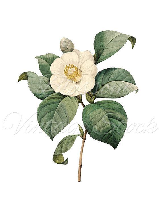 White Camellia Botanical Print, Instant Download Camellia Digital Image, Antique Illustration for Print, Artwork - INSTANT DOWNLOAD - 1271