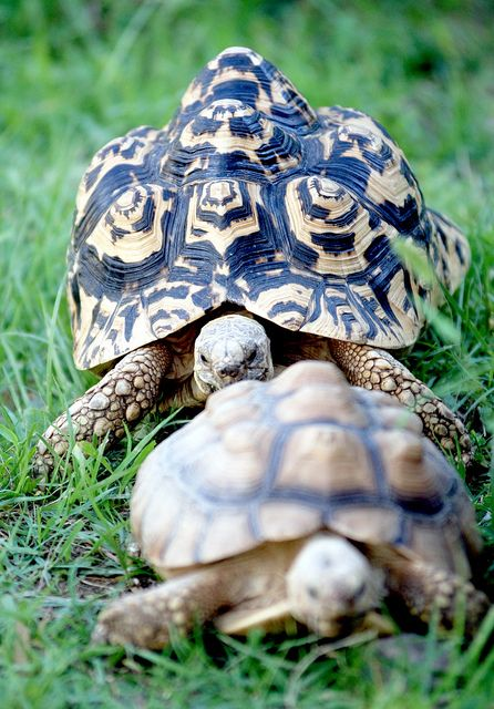 Turtle- Is this a case of turtle stalking?