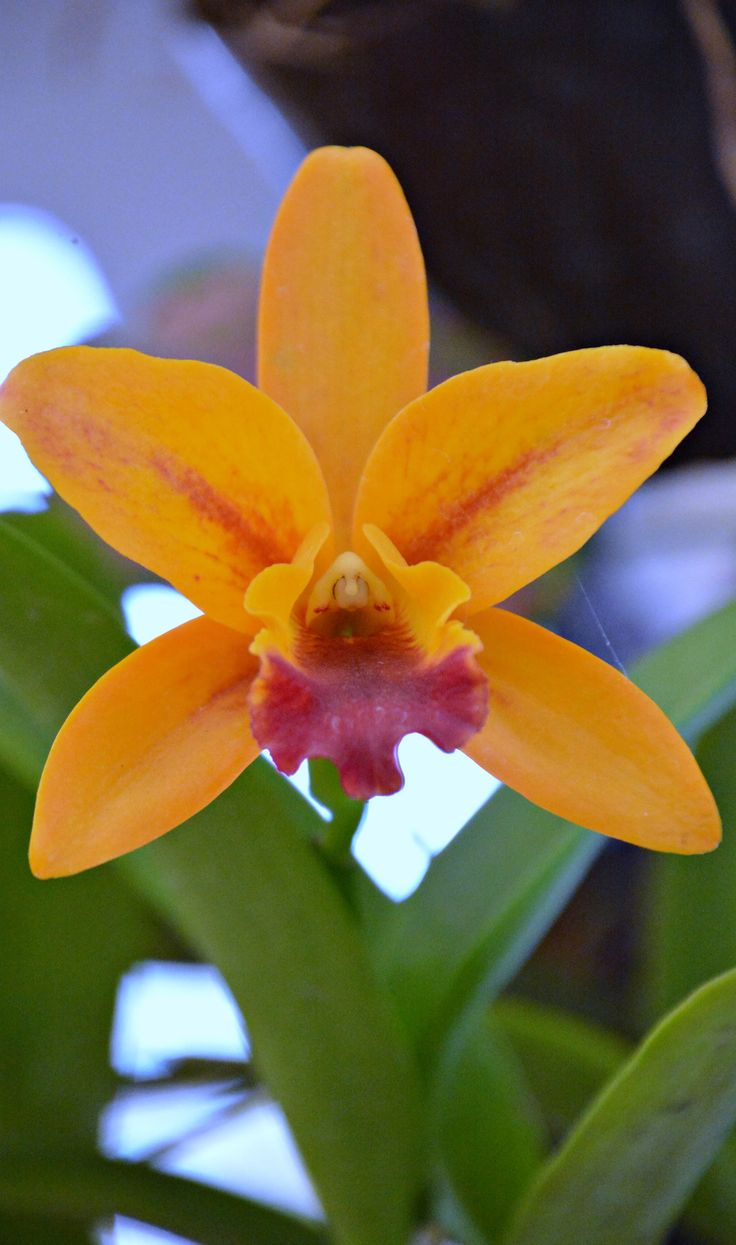 Thailand Orchids (Wil 5865)