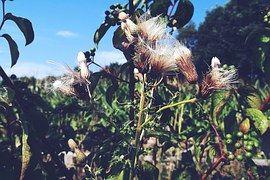 Plant, Fluffy, Flower, Nature, Grass