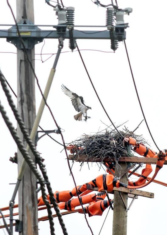 UI has no immediate plans to remove osprey nest from Milford utility pole