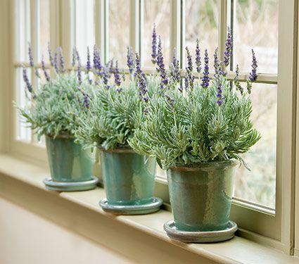 43 best gardens indoors images on pinterest white flower farm white flowers and lavender. Black Bedroom Furniture Sets. Home Design Ideas