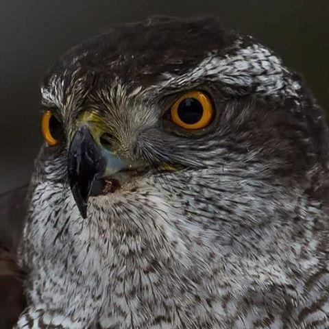 A close up on the Northern goshawk  #discoverearth #marvelshots #ilovenorway #wwf #worldcaptures #master_pics #ic_animals #insta_global #animal #nasjonalparkriket #bbc #dovre #eXclusive_animals #ig_discover_wildlife #nikon #nikonambassador #nikonnordicambassador #nikonphotography #naturelovers #nikon_norway #nikon_usa #nikon_deutschland #nikon_uk #hønsehauk #hawk