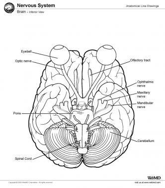 21 mejores imágenes de brain en Pinterest   El cerebro, La anatomía ...