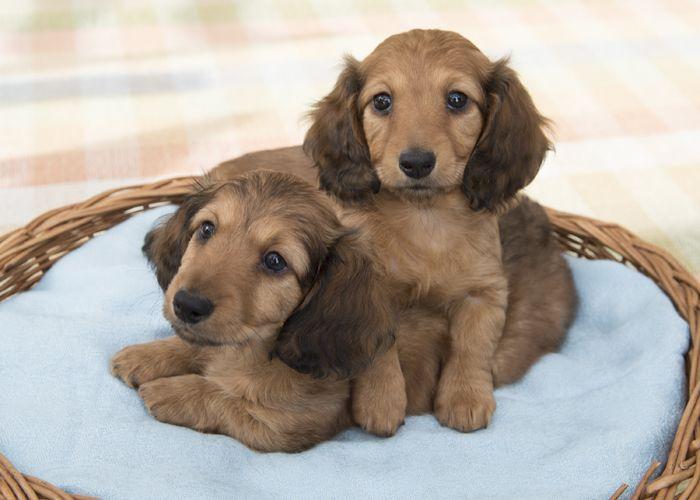 Fotos Raça de Cachorro Dachshund - Mini, Pelo Longo, Pelo Duro | Raças de Cachorros