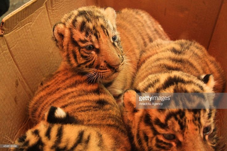 26-day-old Bengal Tiger Cubs are in a box at the Mangkang zoo in Semarang, Central Java, Indonesia on November 26, 2014. The Mangkang zoo in Semarang plays an important role in breeding rare and endangered animals.