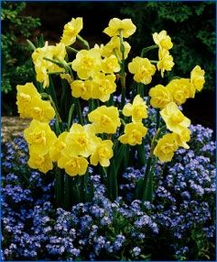 Narcissus Yellow Cheerfulness - Double Narcissi - Narcissi - 100