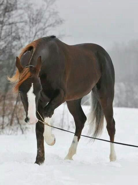 Dark Liver Chestnut with loads of white amid the snow