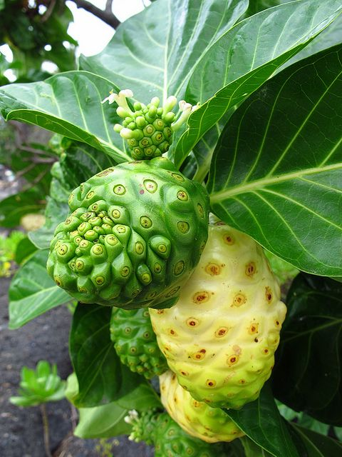 "Noni fruit on the tree in Puʻuhonua o Hōnaunau, Hawaii (Big Island)...it has a reputation for amazing health benefits but smells and tastes like ""rotten cheese""!"