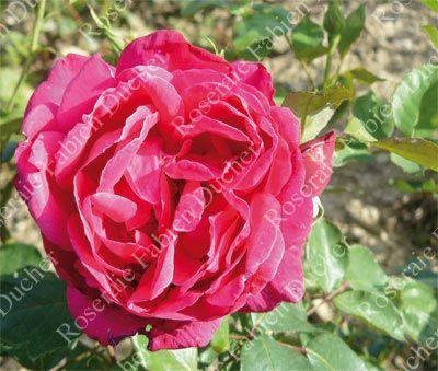 Connu Les 146 meilleures images du tableau La guerre des Roses C sur  TW72