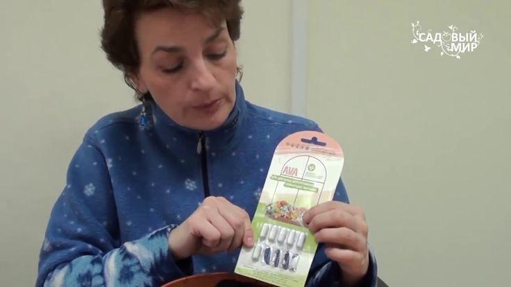 """Как сажать клубневую бегонию.. Сайт """"Садовый мир"""" - YouTube"""