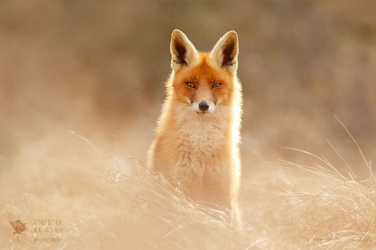 Sunshine Fox by Roeselien Raimond https://500px.com/photo/211475079/sunshine-fox-by-roeselien-raimond?ctx_page=1&from=popular