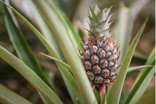 How to Grow Pineapple Plants from Pineapple Tops | eHow  Do you like pina coladas...getting caught in the rain?