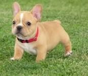 teacup french bulldog. I want one of these cuties!!