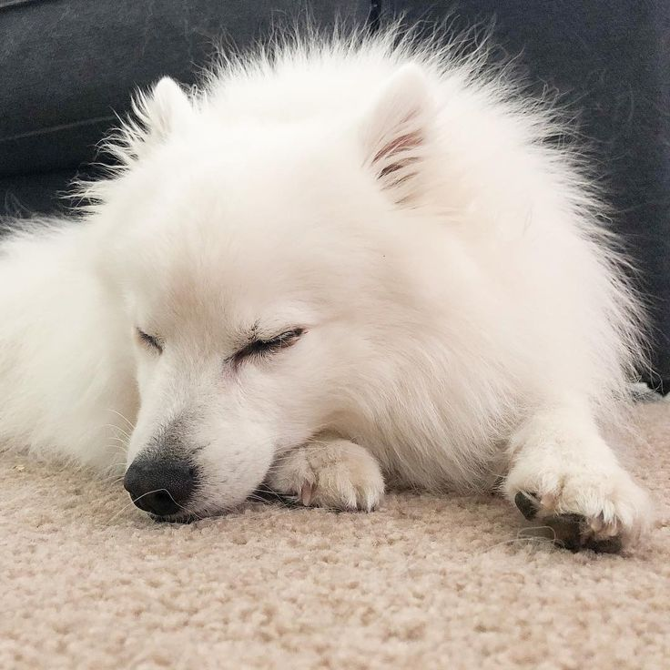 Sunday snoozing  . . . #japanesespitz #japanesespitzinstagram #dog #puppy #cute #italiangreyhound #iggy #instagood #dogs_of_instagram #animal #photooftheday #dogsofinstagram #wolfpack #ilovemydog #instagramdogs #igerscanberra #dogstagram #dogoftheday #lovedogs #hound #fluffy #doglover #instapuppy #instadog #thedogist #dogsofinstaworld #dogslovers #australiasbestdogs #cutepetclub