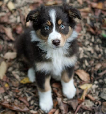 Australian Shepherd. I need one of these :-) So cute!