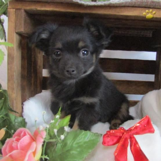 Teddie Chihuahua Puppy For Sale In Seneca Falls Ny Lancaster