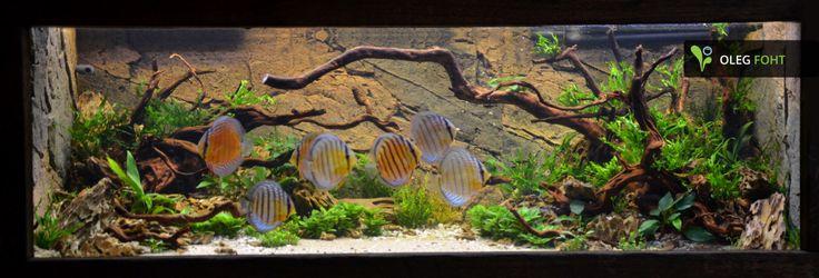 27 Days After Set Up Aquascaping Akvarium Diskus