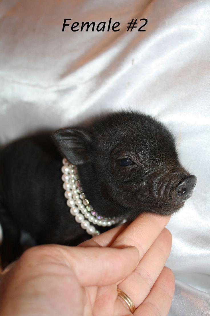 Teacup Micro Mini Pet Pigs