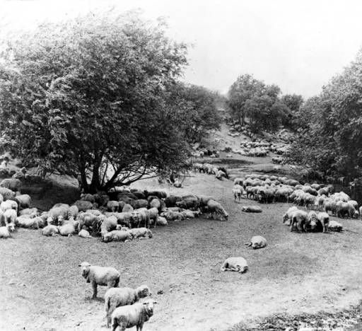 Sheep grazing on a ranch owned by the Weddington family at 4141 Whitsett Avenue, circa late 1800s. Later, it was a wheat farm, a casaba melon farm, and eventually a golf course in an area now known as Studio City. San Fernando Valley History Digital Library.