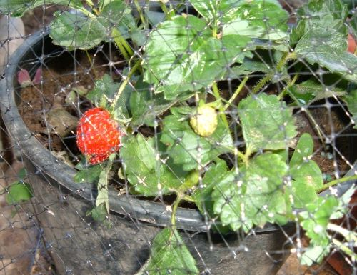 Rete antiuccelli a protezione delle fragole