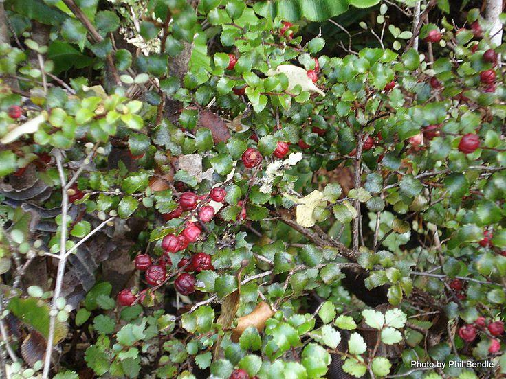 Gaultheria antipoda - Snowberry, False Beech, Fools Beech, Bush Snowberry