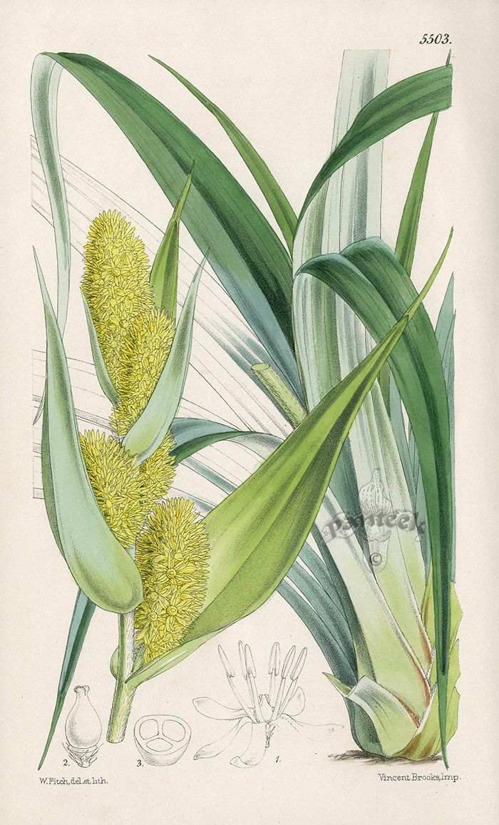 Astelia Solandri, New Zealand from Rare Lithographs of Macrozamia, Bowenia, Banksia by W.H.Fitch 1853-1871