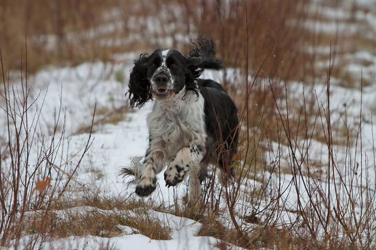 The English springer spaniel Ukko is 11-years old and is still hunting with his owner thanks to Nutrolin Joint Duo. Thanks to Ukko for the reminding that the dog's working career can last long when the dog is taking care of in a propper way.