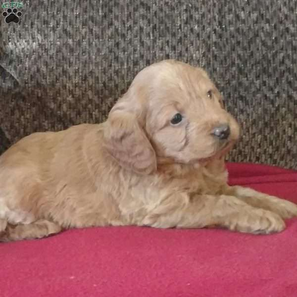 Angel Mini Labradoodle Puppy For Sale In Illinois Mini Labradoodle Puppy Labradoodle Puppies For Sale Labradoodle