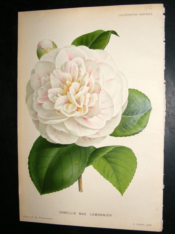 L'Illustration Horticole 1883 Botanical Print. Camellia Mad ...