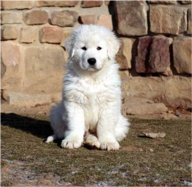 Maremma Sheepdog Puppy!
