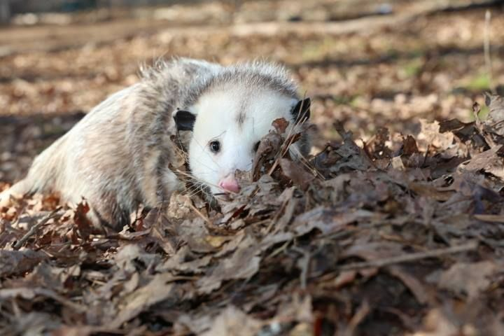 17 Best images about Opossums on Pinterest | Brain size ...