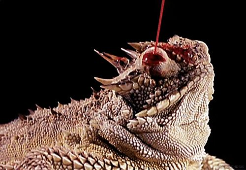 Lagarto de Chifres Espirram Sangue nos Olhos na defesa contra predadores | HypeScience