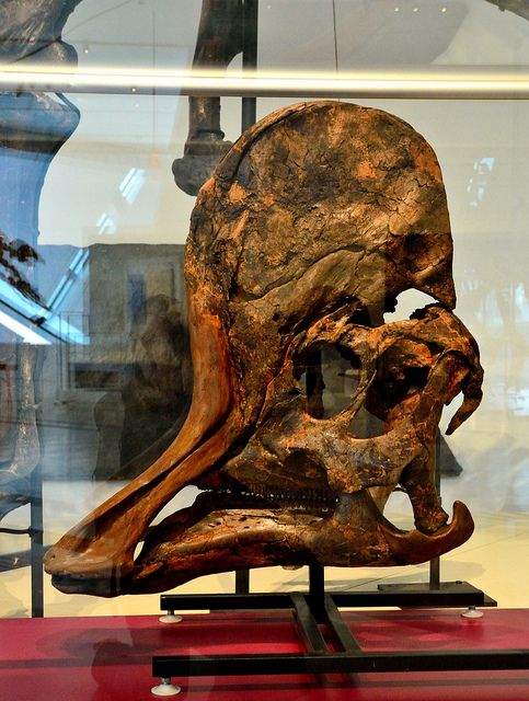 the James and Louise Temerty Galleries of the Age of Dinosaurs of the Royal Ontario Museum.   Adult skull and jaws of Corythosaurus casuarius Lambeosaurine hadrosaur Ornithischian Dinosaur Dinosaur Provincial Park, Alberta Late Cretaceous 76 million years old.