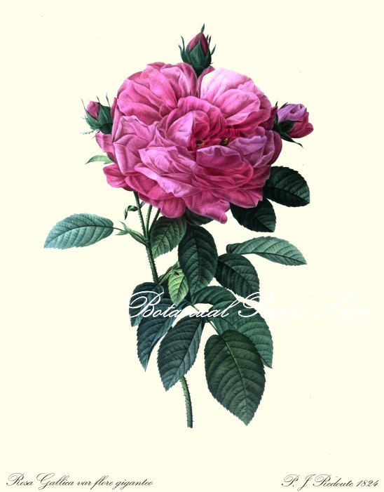 """Roses Pictures. Rose Print No.15. Flower Pictures. Floral Art. 8x10"""" 11x14"""""""