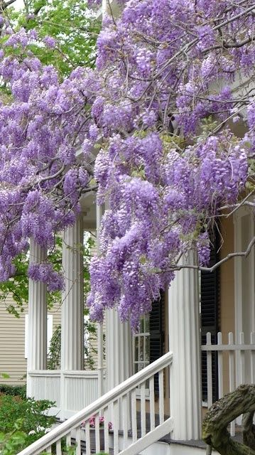 The pastel color and sweet smell of this purple wisteria would welcome you onto the front porch for a cool drink and a friendly smile