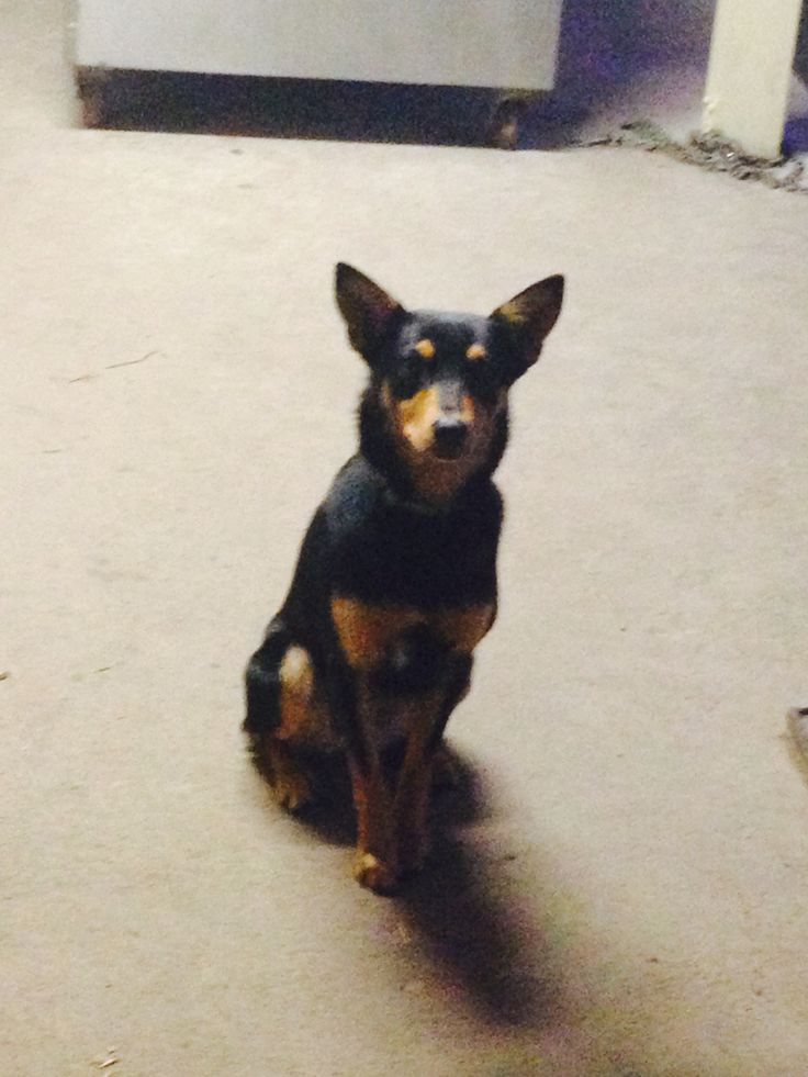 Lexi is an 11 month old working standard Black and Tan kelpie. She's owned by @katharinemarkha