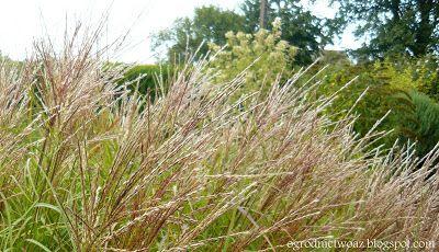 Ogrodnictwo od A do Z : Trawy ozdobne w ogrodzie- Miskanty (Miscanthus)