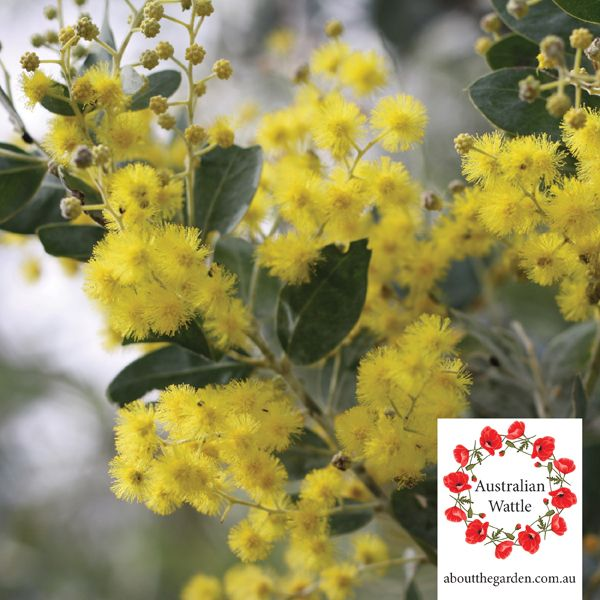 Australian Wattle Lone Pine Anzac Day lest we forgetA native, wattle is a National Symbol  and part of the Australian National Emblem, along with the Kangaroo and Emu. This emblem, worn on the Australian Army Slouch Hat and synonymous with Anzac Day Services across Australia #native #australia #anzac #gallipoli #army #flower #tree #yellow #aboutthegarden