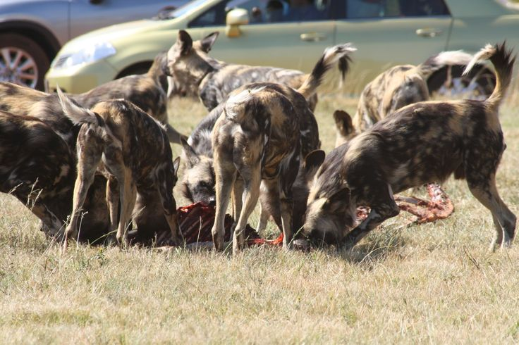 Wild Dog feast. Wish I could put sound to this pic. Beautiful!!