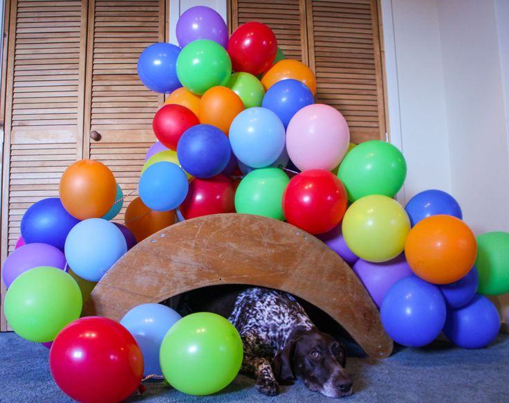 A balloon a day - day 78 (Tommy, German shorthaired pointer)