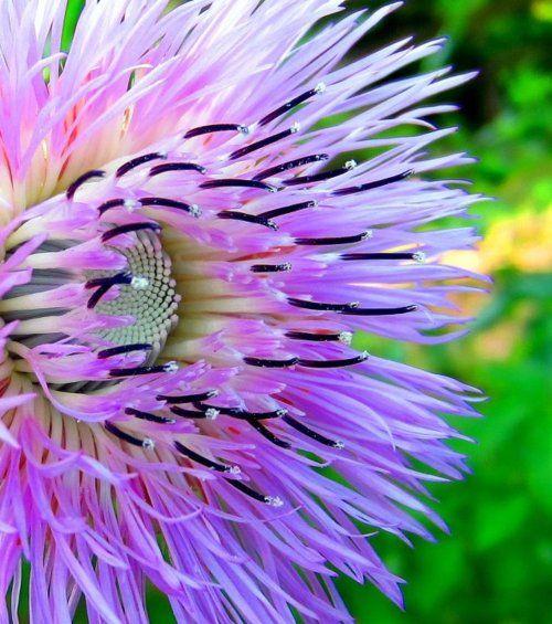 American Basketflower (Centaurea americana)