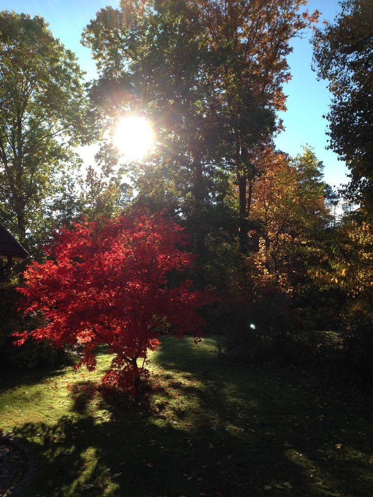 Japansk lönn lyser upp hösten.