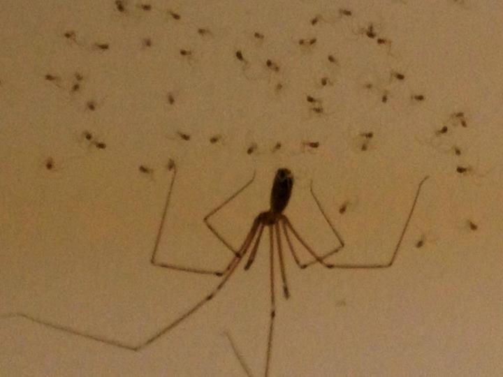 Long Bodied Cellar Spider With Babies Animals Pinterest